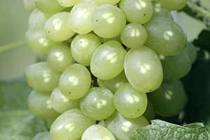 Polifenole z pestek winogron