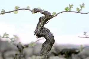 Resweratrol z winorośli